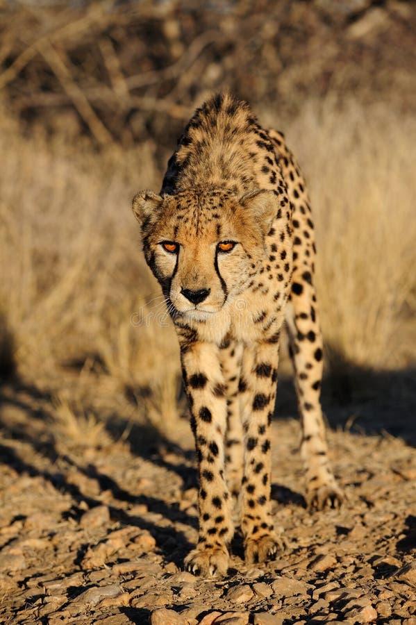 Gepard im Busch, Namibia lizenzfreies stockbild