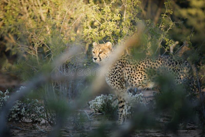 Gepard im Busch stockfotografie