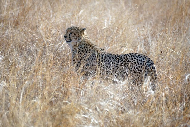 Gepard im hohen Gras in Nationalpark Pilanesberg lizenzfreies stockfoto