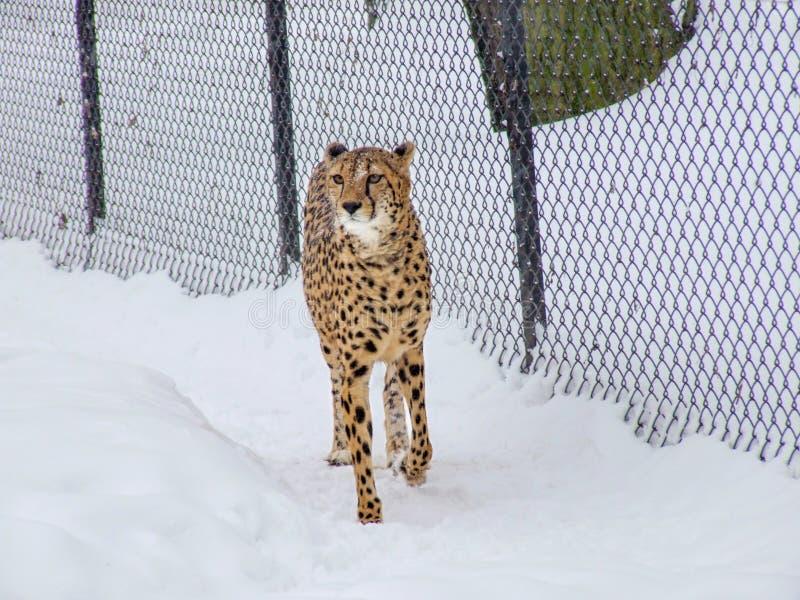 Gepard im Schnee im Zoo lizenzfreie stockfotografie
