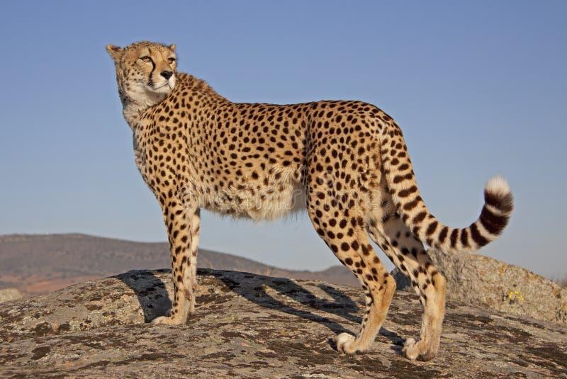 gepard im sonnenuntergang stockbild bild von