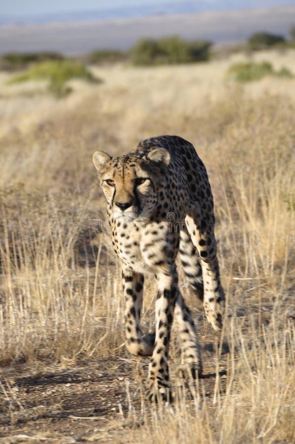 Gepard konserwaci funduszu projekt jest od 30years istnieć zdjęcia stock