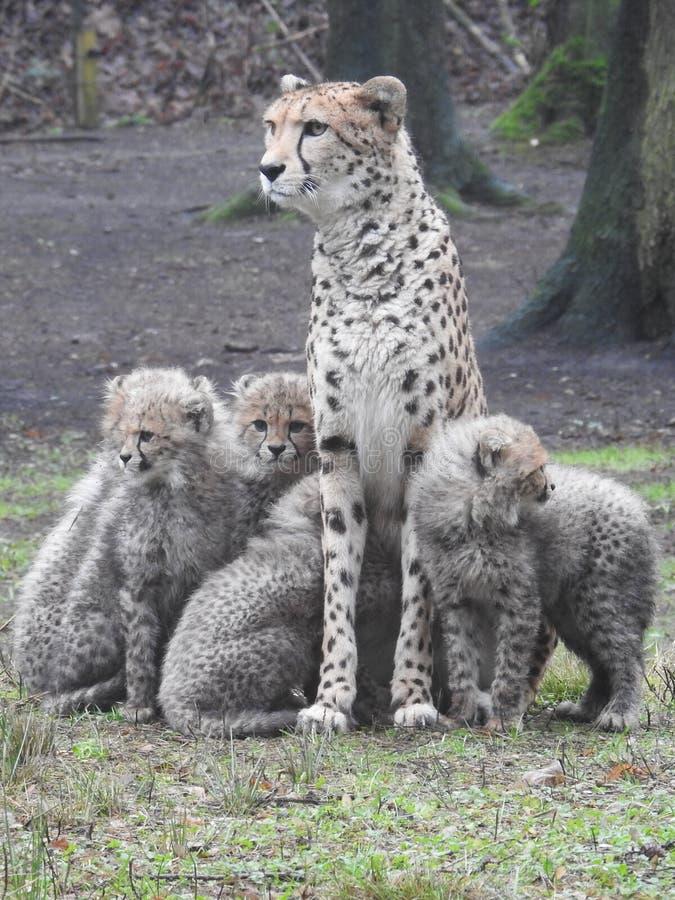 Gepard mit ihren Jungen stockbild