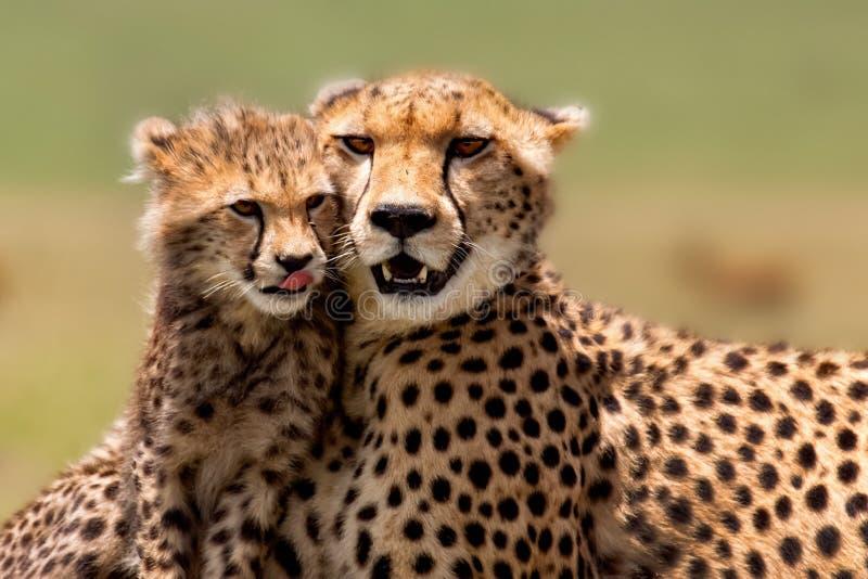 Gepard-Mutter mit Jungem, Masai Mara lizenzfreie stockbilder