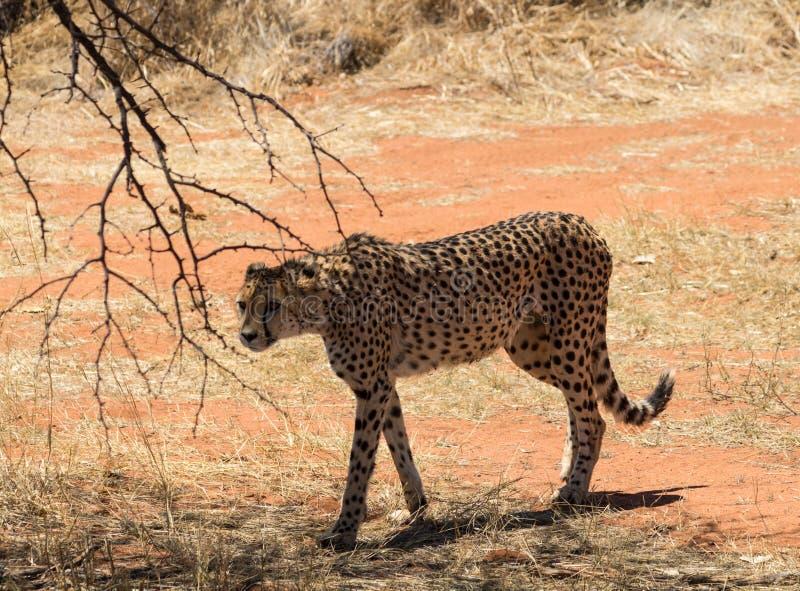 Gepard na prowl zdjęcie royalty free