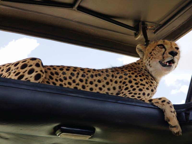 Gepard Odpoczywa w cieniu safari pojazdu dach, Serengeti park narodowy, Tanzania obraz royalty free