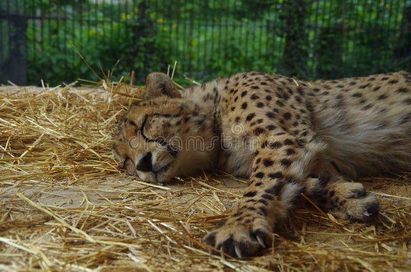 Gepard odpoczywa w zoo obrazy royalty free