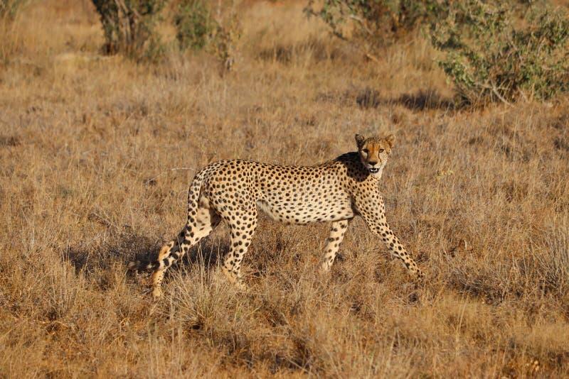 Gepard på jakt i en torr savannah fotografering för bildbyråer