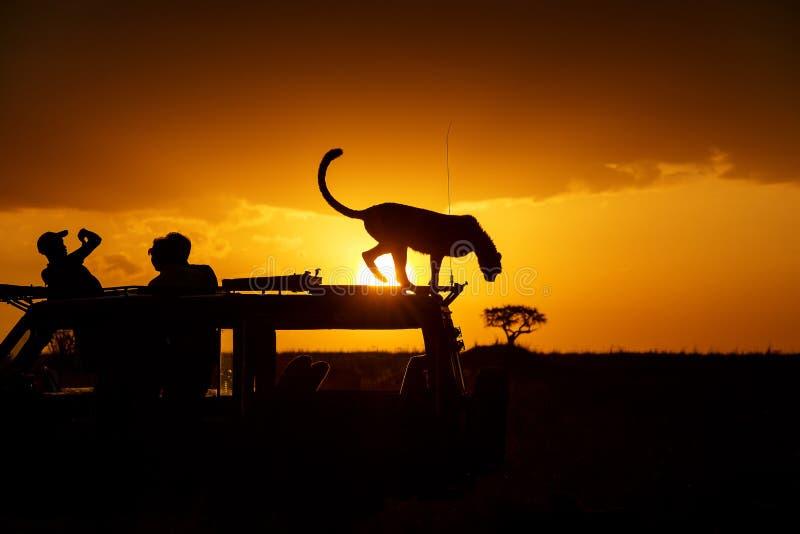 Gepard på solnedgången fotografering för bildbyråer