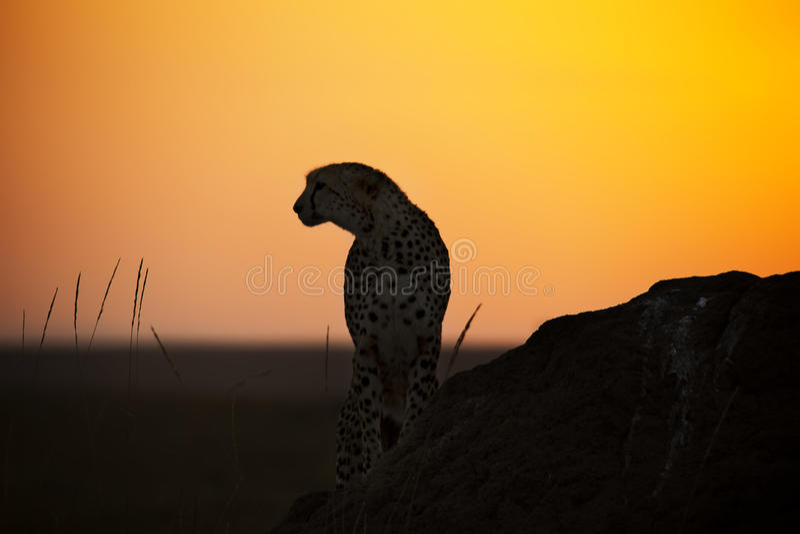 Gepard på soluppgång arkivfoto