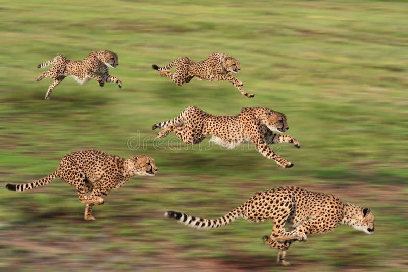 gepard pięć obraz royalty free