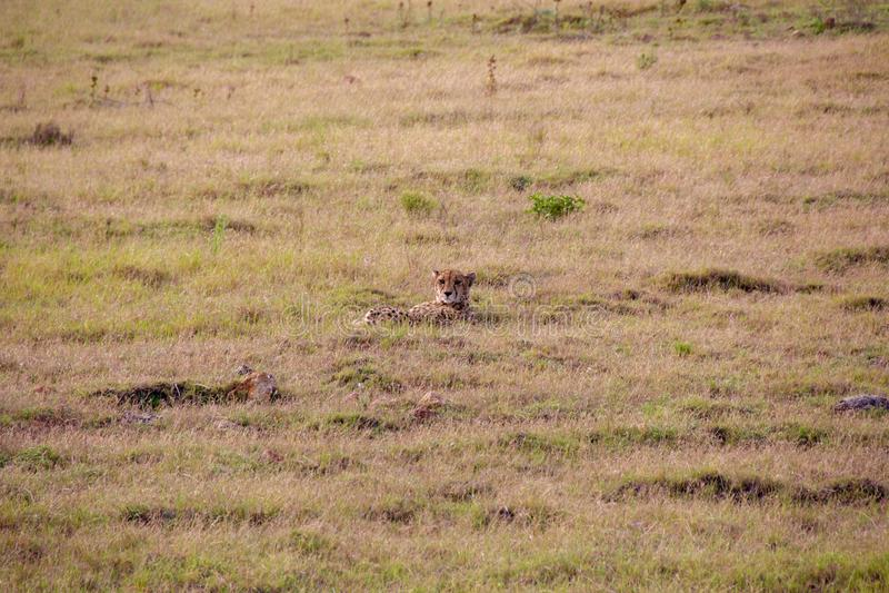 Gepard 1, Południowa Afryka zdjęcia stock