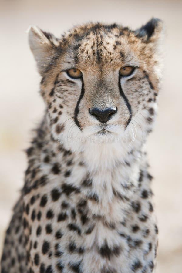 Gepard-Porträt Südafrika stockfoto