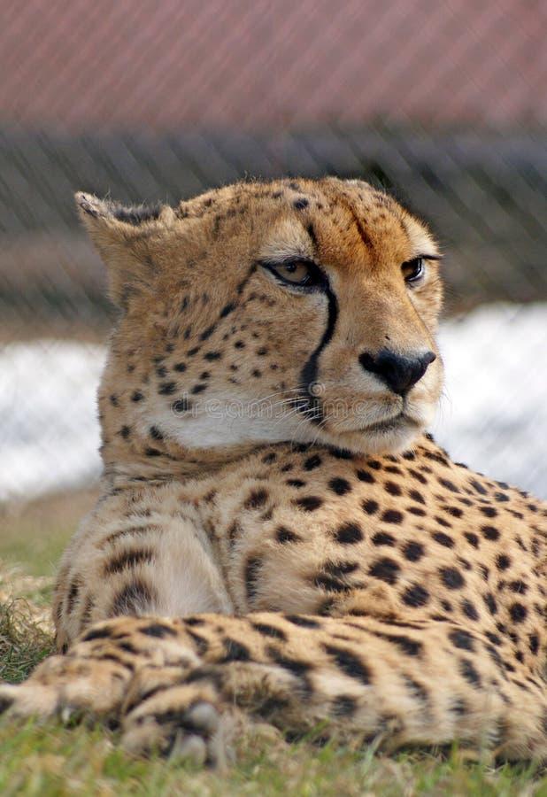 gepard poważny fotografia royalty free