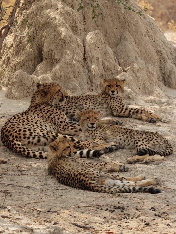 gepard rodzina fotografia stock