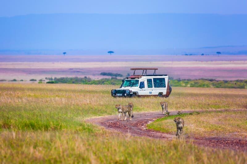 Gepard rodzina biega między turystycznymi dżipami zdjęcie stock