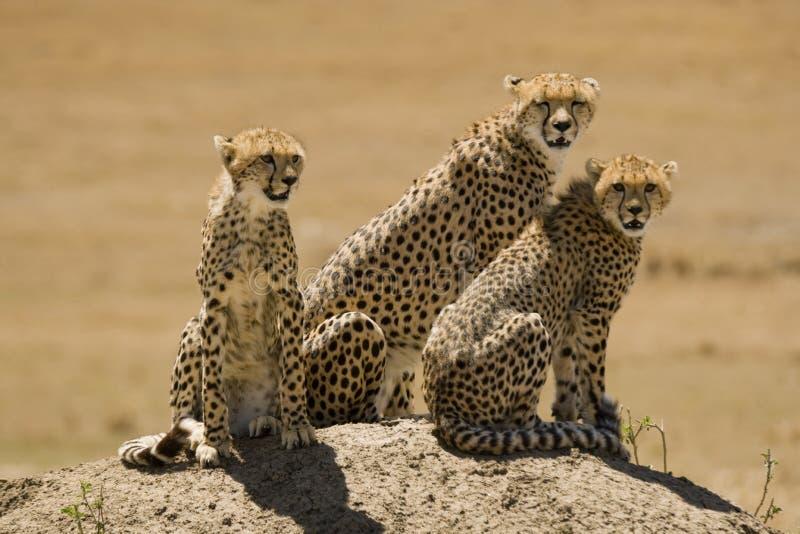 Gepard rodzina matka i dwa juveniles obrazy stock