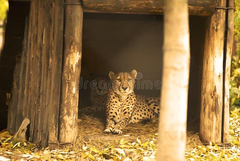 Gepard rodzina w zoo zdjęcie royalty free