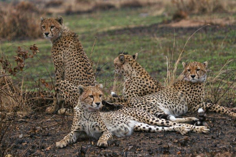 gepard rodziny fotografia royalty free