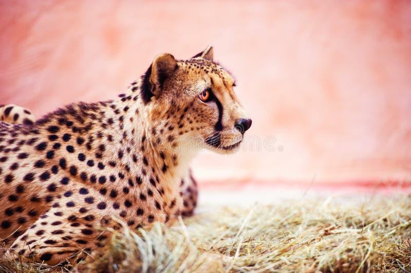 Gepard, schönes Porträt Tierwelt Gro?e Katze lizenzfreies stockbild