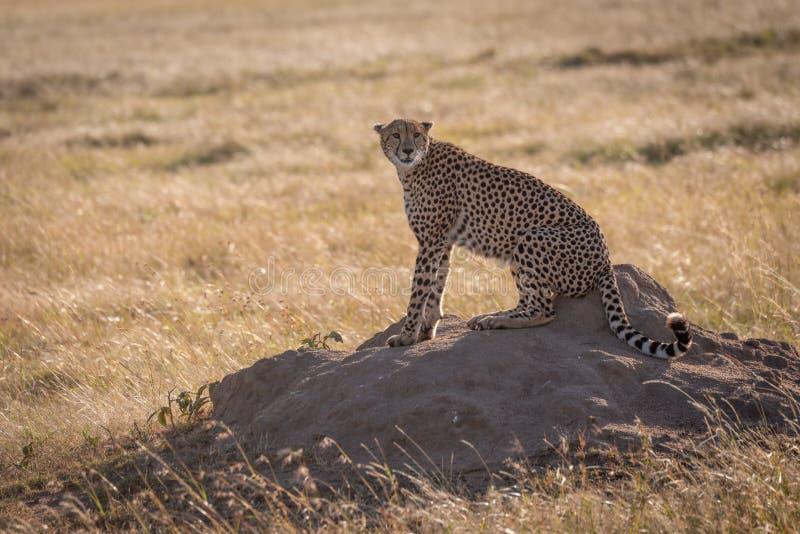 Gepard siedzi na termitu kopa kręcenia głowie obrazy stock