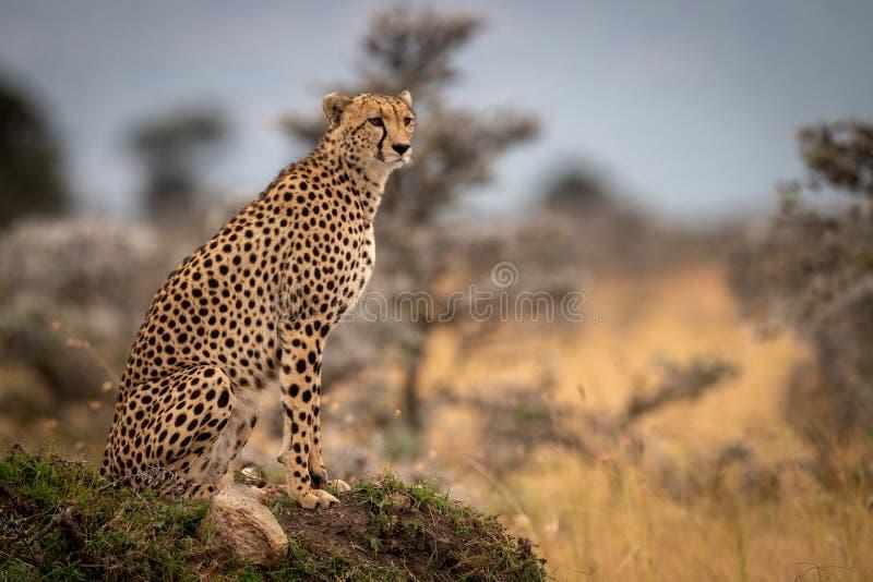 Gepard siedzi na trawiastej kopa kręcenia głowie obraz royalty free