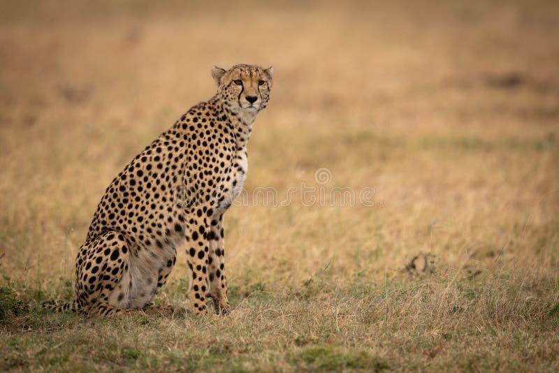 Gepard siedzi na trawiastej prostej kręcenie głowie obraz royalty free