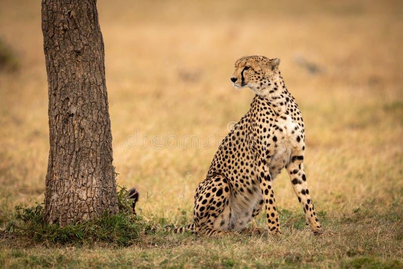 Gepard siedzi patrzeć za drzewem na trawie zdjęcia stock