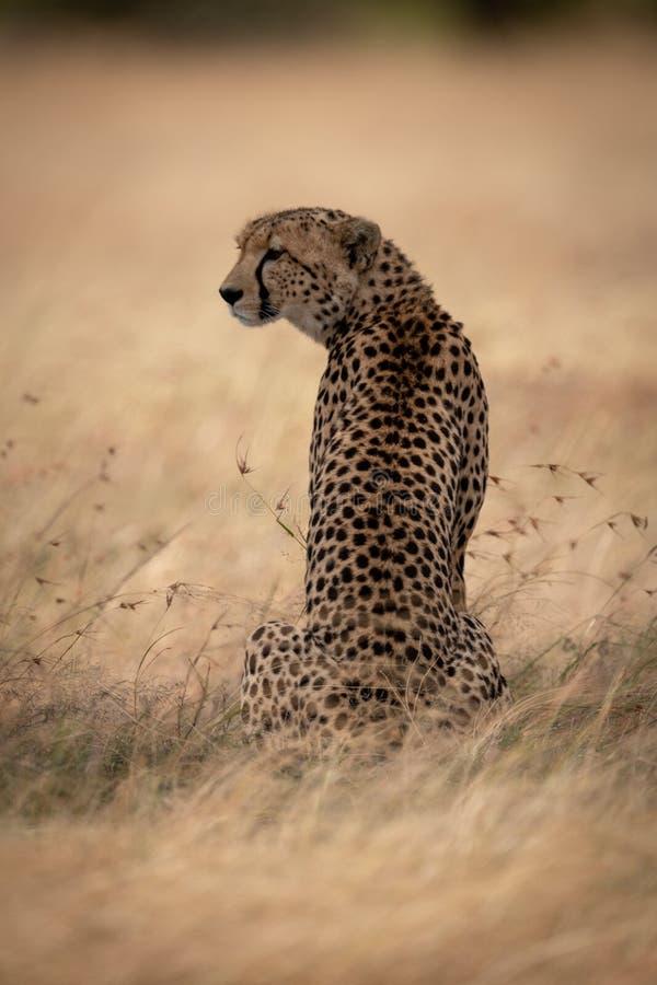 Gepard siedzi w trawy kręcenia głowie opuszczać obraz stock