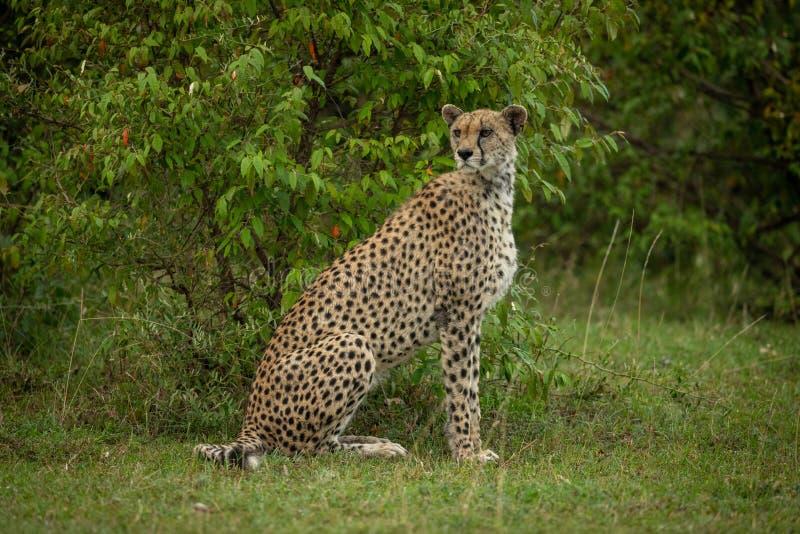 Gepard sitzt durch den belaubten Busch, der rund schaut stockfotos