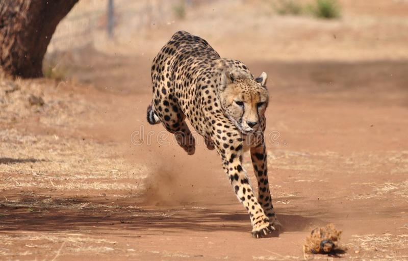 Gepard som övar, genom att jaga ett drag 2 arkivbild