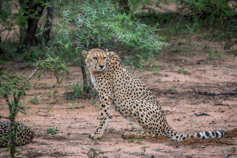 Gepard som sitter i sanden i Krugeren royaltyfri fotografi
