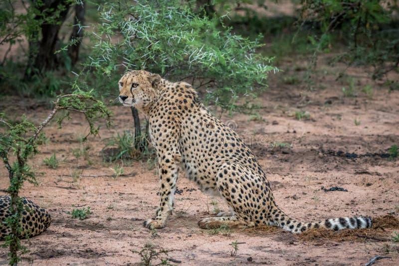 Gepard som sitter i sanden i Krugeren arkivfoto