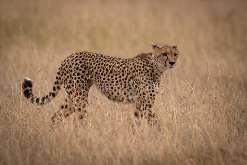 Gepard stoi kręcenie głowę w długiej trawie zdjęcia royalty free