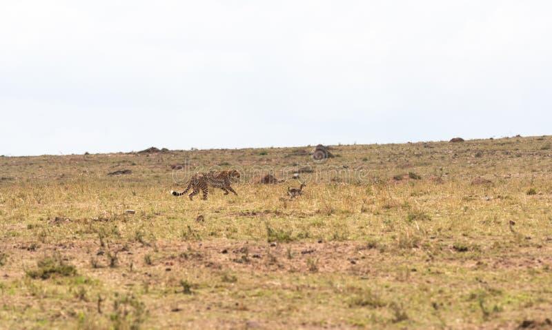 Gepard sztuki z małym impala śmiertelna gra Mara kenya masai obraz royalty free