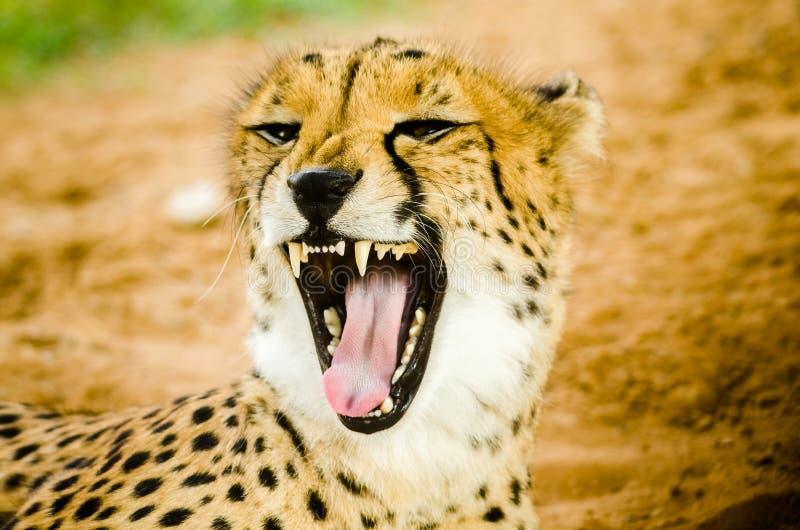 Gepard u. x28; Acinonyx jubatus& x29; stockfotografie