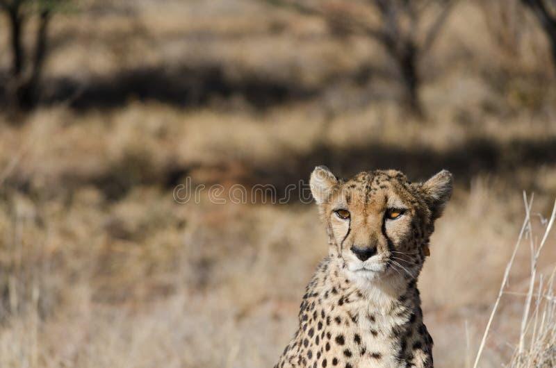 Gepard w konserwacja terenie w Namibia obrazy stock