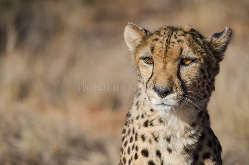 Gepard w konserwacja terenie w Namibia zdjęcia royalty free
