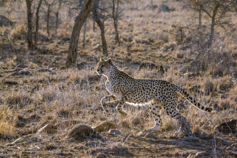 Gepard w Kruger parku narodowym, Południowa Afryka fotografia royalty free