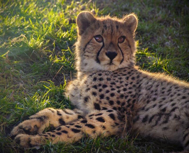 Gepard w trawie obrazy royalty free