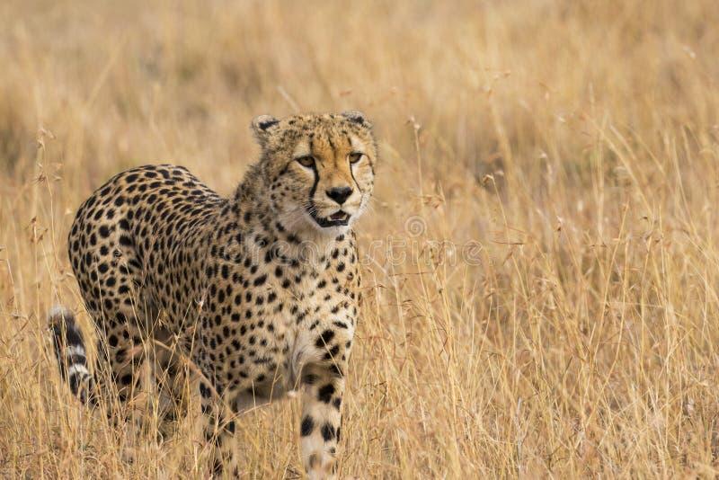 Gepard w trawy zakończeniu Up zdjęcie stock