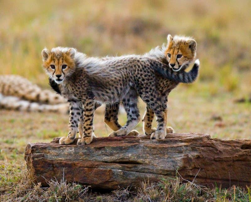Gepard wirft Spiel mit einander in der Savanne kenia tanzania afrika Chiang Mai serengeti Maasai Mara lizenzfreie stockfotos