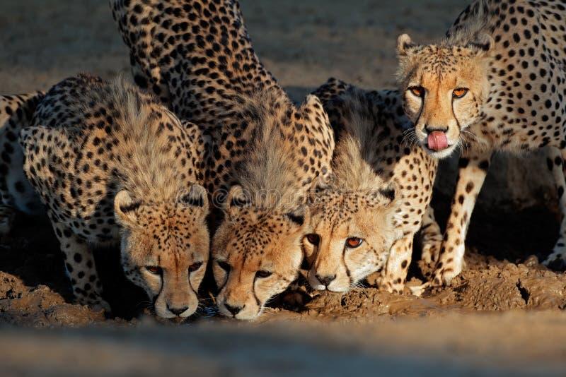 Gepard woda pitna fotografia royalty free