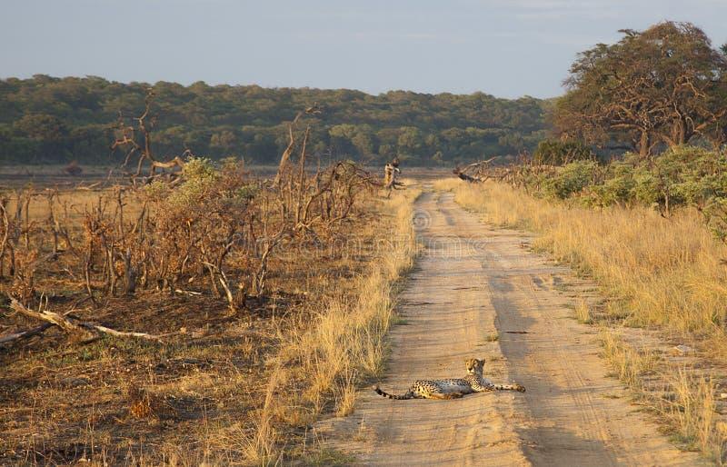 Gepard - wschód słońca obraz royalty free