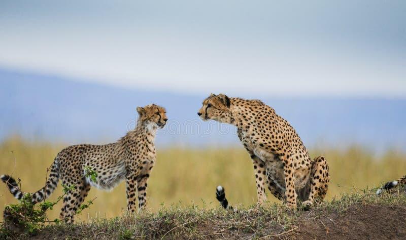 Gepard zwei in der Savanne kenia tanzania afrika Chiang Mai serengeti Maasai Mara lizenzfreie stockfotos
