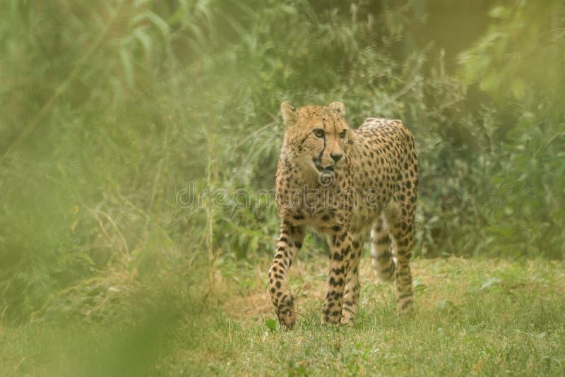 Geparda Acinonyx jubatus, piękny kot w niewoli przy zoo, dużego kota odprowadzenie na trawie fotografia stock