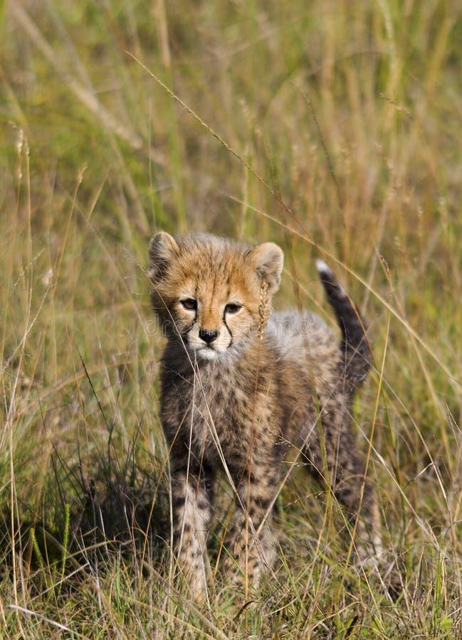 geparda lisiątko zdjęcie stock