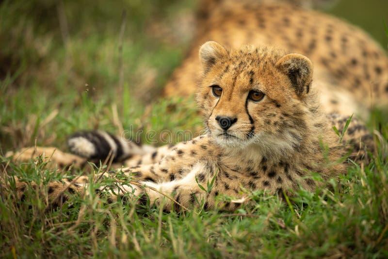 Geparda lisiątko patrzeje z lewej strony kłama w trawie zdjęcia royalty free