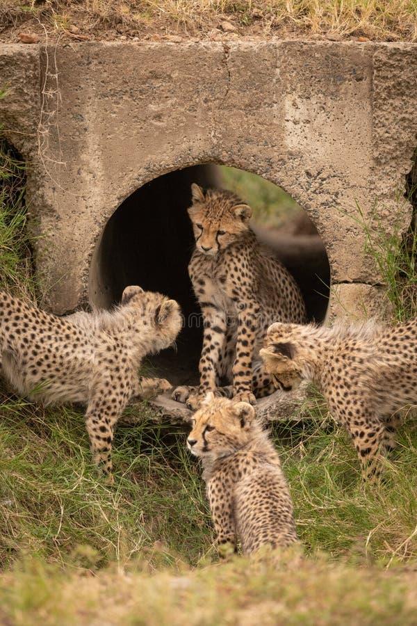 Geparda lisiątko w drymbie otaczającej rodzeństwami zdjęcie stock