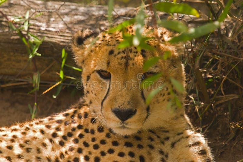 Geparda lying on the beach w cieniu
